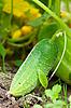 Cucumber | Stock Foto