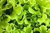 Lettuce | Stock Foto