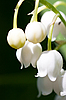 Lily of the valley | Stock Foto