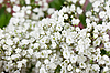 Small white flowers | Stock Foto