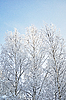 Bare birch trees with hoarfrost | Stock Foto