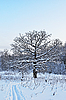 Photo 300 DPI: Bare oak tree in winter time