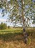 Birch tree on the field edge | Stock Foto