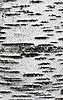 桦树皮纹理 | 免版税照片