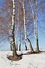 Photo 300 DPI: Bare birch trees in winter time