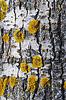 老杨树树皮与地衣 | 免版税照片