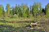 海狸树砍掉 | 免版税照片
