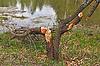 海狸砍倒树干 | 免版税照片