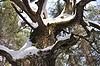 橡树树干光秃秃的树枝在冬季 | 免版税照片