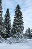 Photo 300 DPI: Snow covered fir trees in forest