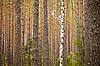 Birch in pine forest | Stock Foto