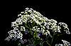花序伞形植物 | 免版税照片