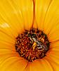 ID 3147508 | Wildbiene an orangefarbener Blume | Foto mit hoher Auflösung | CLIPARTO