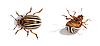两个科罗拉多甲虫。活的和死 | 免版税照片