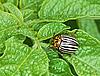 Photo 300 DPI: Colorado beetle on potato leaves