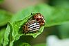 ID 3148835 | Szkodników ziemniaka - chrząszcze Colorado na liściach | Foto stockowe wysokiej rozdzielczości | KLIPARTO