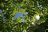 Sky - View under potato leaves | Stock Foto
