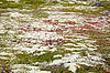 Photo 300 DPI: Ground covered by moss and lichen - northern tundra