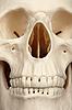 Фото 300 DPI: Лицевая часть черепа