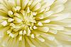 Цветок астры | Фото