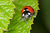 Photo 300 DPI: Red ladybird sits on green sheet