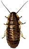 ゴキブリ - | ベクトルイラスト