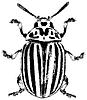 Vector clipart: Colorado beetle -