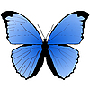 Vector clipart: The blue butterfly