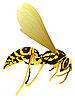 Vector clipart: drawing of wasp