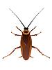 Vector clipart: cockroach