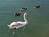 ID 3179421 | Ein junger weißer Schwan und drei Enten | Foto mit hoher Auflösung | CLIPARTO