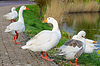 Photo 300 DPI: Geese on waterfront in Dutch town of Gorinchem. Early m