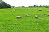 양 네덜란드 농장 근처 풀밭에 방목   Stock Foto