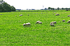 ID 3345589 | Sheep graze in meadow near Dutch farm | High resolution stock photo | CLIPARTO