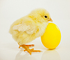 Newborn chicken with yellow egg | Stock Foto