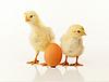 ID 3230208 | Zwei neugeborene Küken mit Ei | Foto mit hoher Auflösung | CLIPARTO