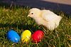 Small chicken with colorful Easter eggs | Stock Foto