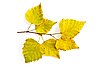 ID 3183218 | 노란색 자작 나무 나뭇 가지에 나뭇잎 | 높은 해상도 사진 | CLIPARTO
