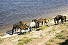 ID 3212929 | Grazed on river bank herd of horses | High resolution stock photo | CLIPARTO