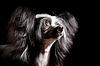中国冠毛 | 免版税照片