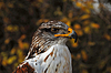 Ferruginous Hawk (Buteo regalis) | Stock Foto