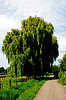 Photo 300 DPI: weeping willow