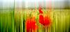 Poppies   Stock Foto