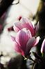 Magnolia blossoms | Stock Foto