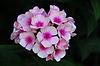 Фото 300 DPI: Бледно-розовые цветы флоксов