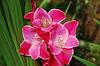 Red Gladiolus | Stock Foto