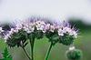 Фото 300 DPI: цветы чертополоха