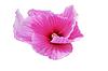 Foto 300 DPI: Hibiskusblüte