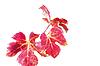 Autumn Vine Leaf | Stock Foto