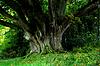 Photo 300 DPI: Giant Tree